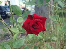 Sou rosa vermelha...