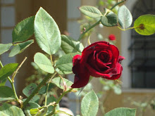 Beija-flor, sou sua rosa...