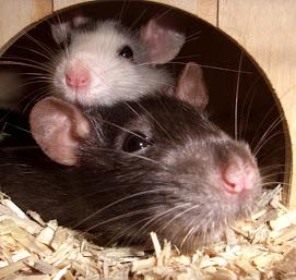 Les Ratounes :  Speedou et Caouette!