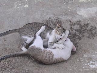 Inteligencia gato. Gatos jugando