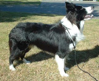Inteligencia perro. Border Collie