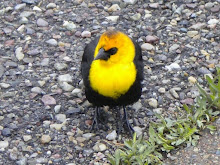 Yellowheadblackbird