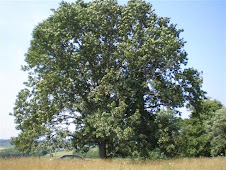 Our tree: Half red oak, half white oak