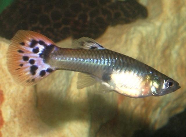 peces lindos