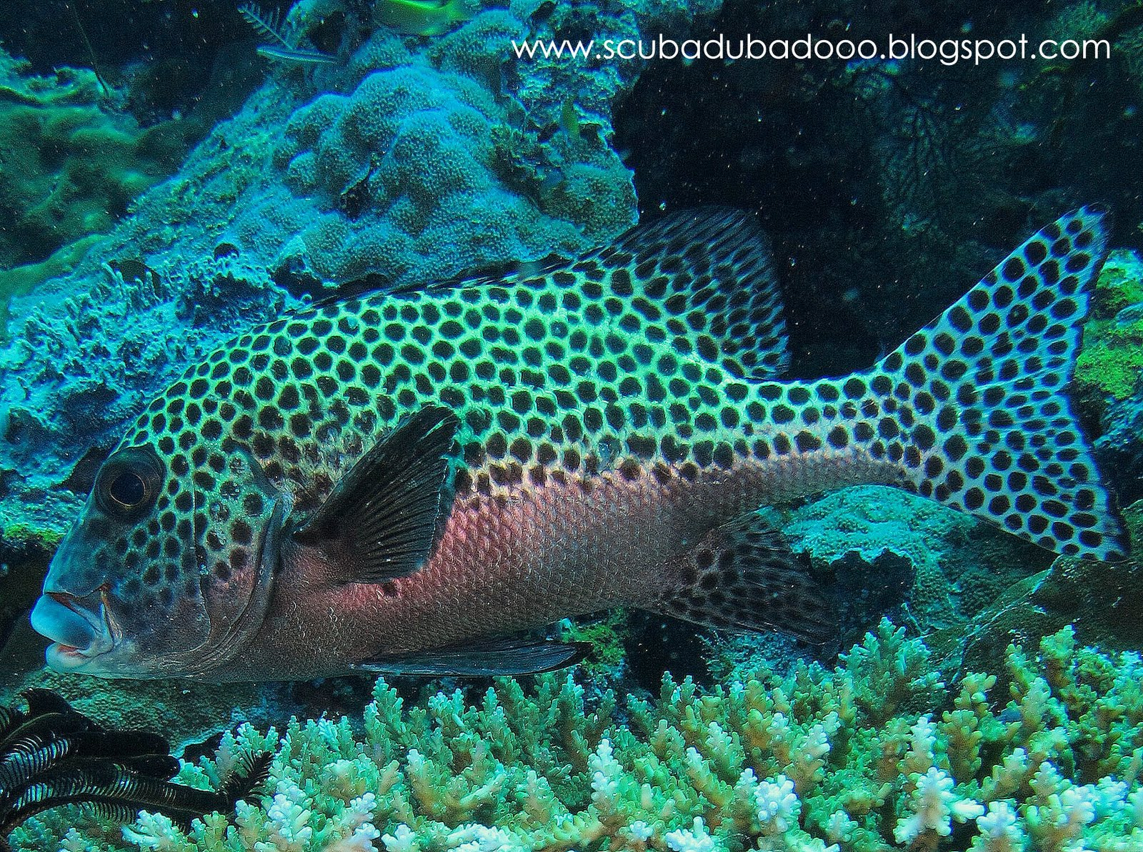 Scubadubadooo many spotted sweetlips for Sweet lips fish