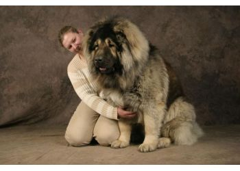 Large bundle of puppy (Caucasian Shepherd) : aww