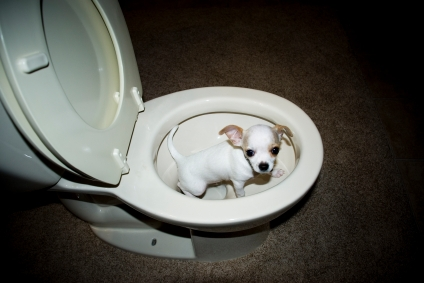 Toilet Training Puppies on Bully Kutta Caucasian Shepherd  How To Potty Train A Dog