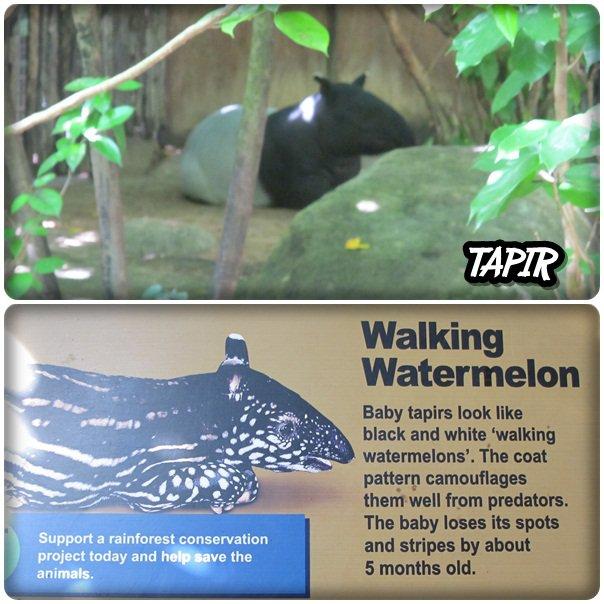 common warthog. The Warthog or Common Warthog