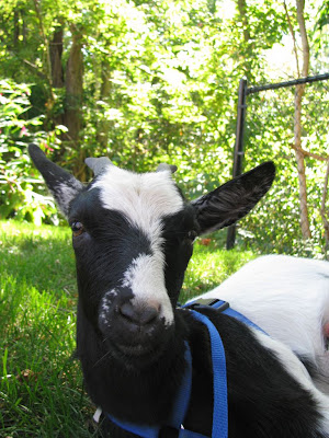 Sammie, the Therapy Goat