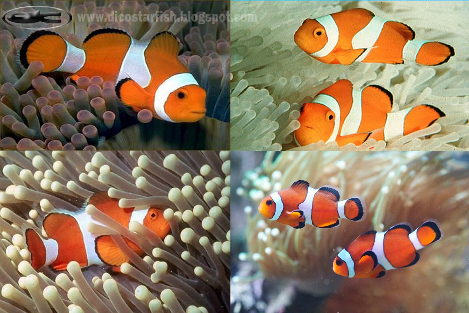 gambar amphiprion+ocellaris+ +Orange+clown+anemonefish+ gambar ikan nemo air laut