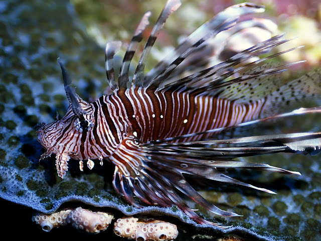 Lion Fish Top 10 Most beautiful Fishes in the World