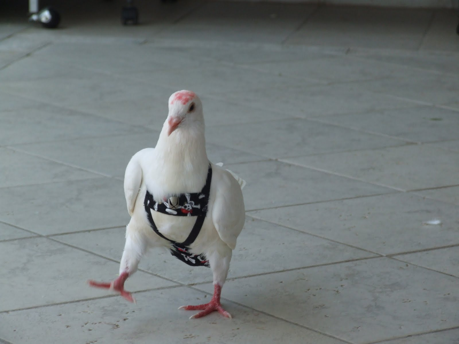 The Rescue Report Pigeons As Indoor Pets The Miracle Of