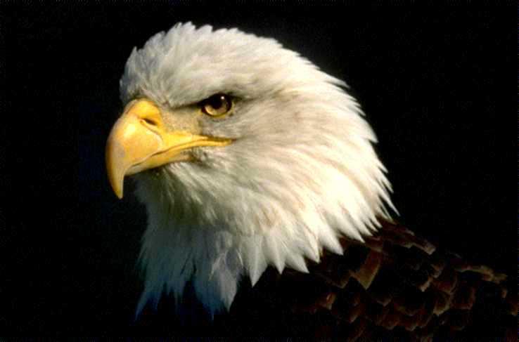 Cuentos Para Niños: El águila y los gallos