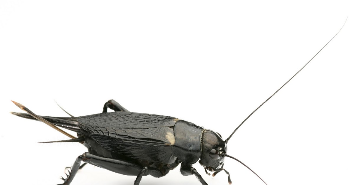 The Pest Advice How To Get Rid Of Black Field Crickets