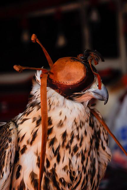 Falcons in Saudi Arabia