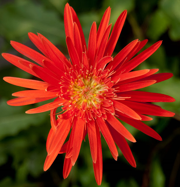 A close up red flower