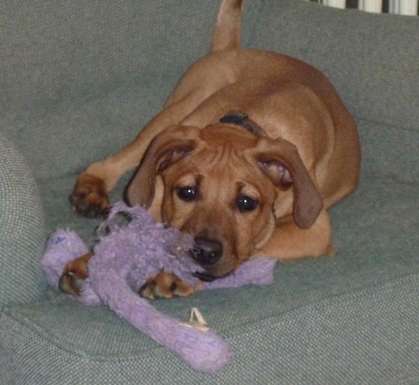 Maybe, just some Rhodesian Ridgeback in the mix?