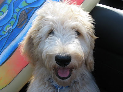 goldendoodle dogs for sale. The Goldendoodle