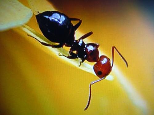 Anche le formiche provengono dall 39 africa for Debellare formiche