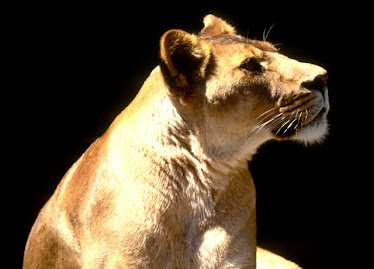 African Lion, Female