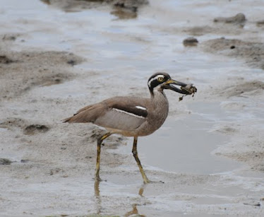 Beach Stone Curlew, with crab