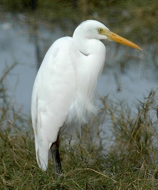 Australian Great Egret