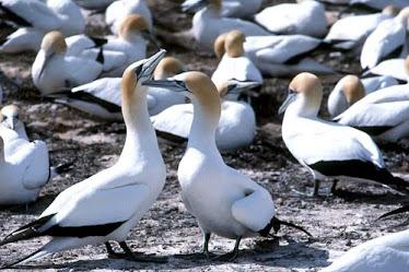 Australian Gannets