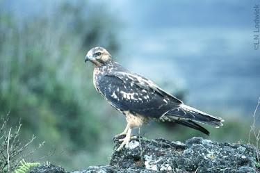 Galapagos Hawk, immature
