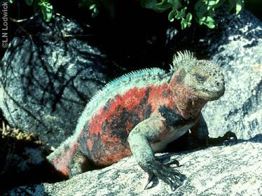 Galapagos Marine Iguana, male