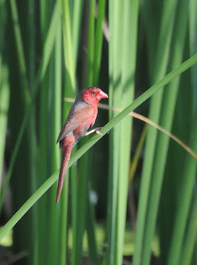 Crimson Finch, male