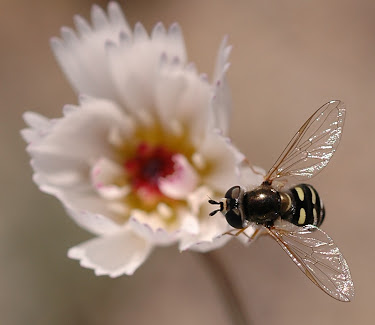 Flower Fly (Dipteran - Syrphid Fly)