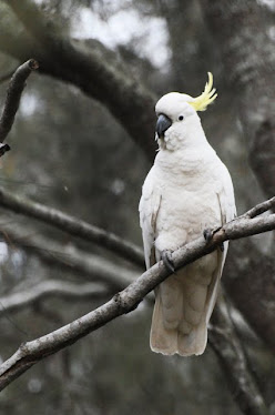 Sulphur-crested Cockatoo 2