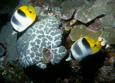 Pacific Double-saddled Butterflyfish