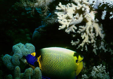 Yellow-masked Angelfish
