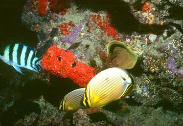 Banner Butterflyfish