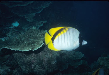 Black-naped Butterflyfish