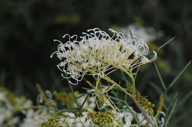 Grevillea asparagoides