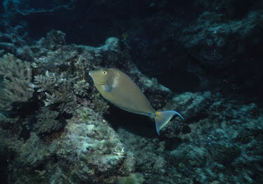 Blue-spined Unicornfish 2