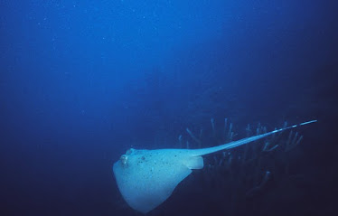 Blue-spotted Stingray 3
