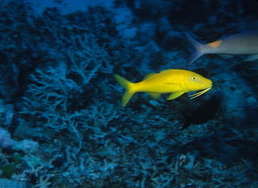 Gold-saddled Goatfish, yellow phase