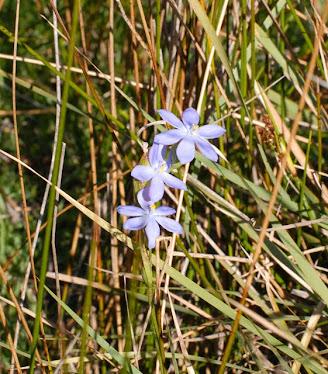 Orthosanthus multiflorus, Iridaceae