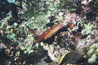Diana's Hogfish