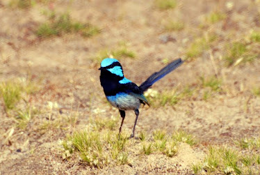 Splendid Fairy Blue Wren