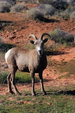 Desert Bighorns, ewe