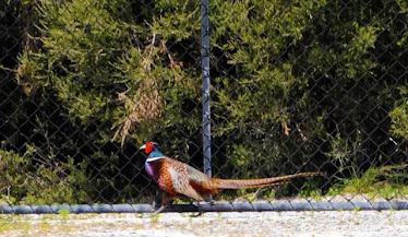 Common/Ring-neck Pheasant