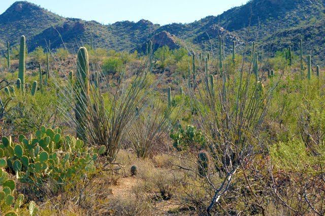 Sonoran Desert Vegetation