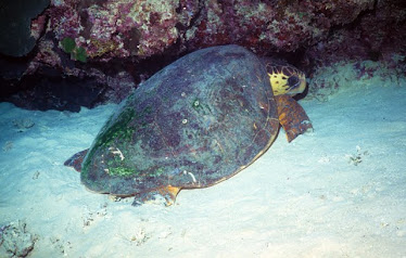 Loggerhead Turtle, asleep in underwater cave