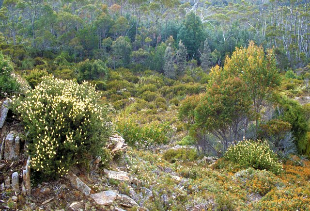 Tasmanian Heath Vegetation 2