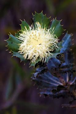 Dryandra cuneata - Wedge-leafed Dryandra#627