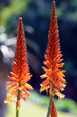 Hot Poker flowers